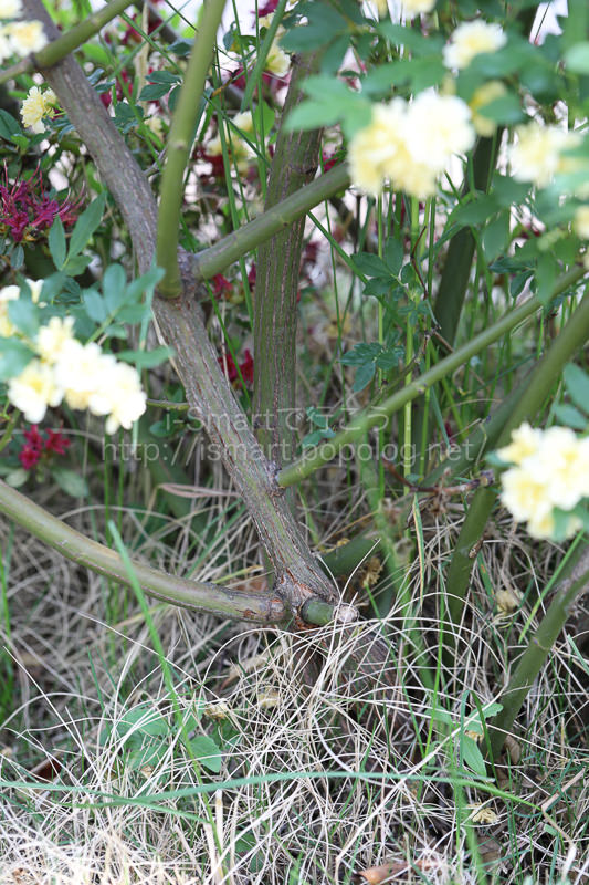 木香薔薇の幹